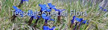 Teesdale Special Flora
